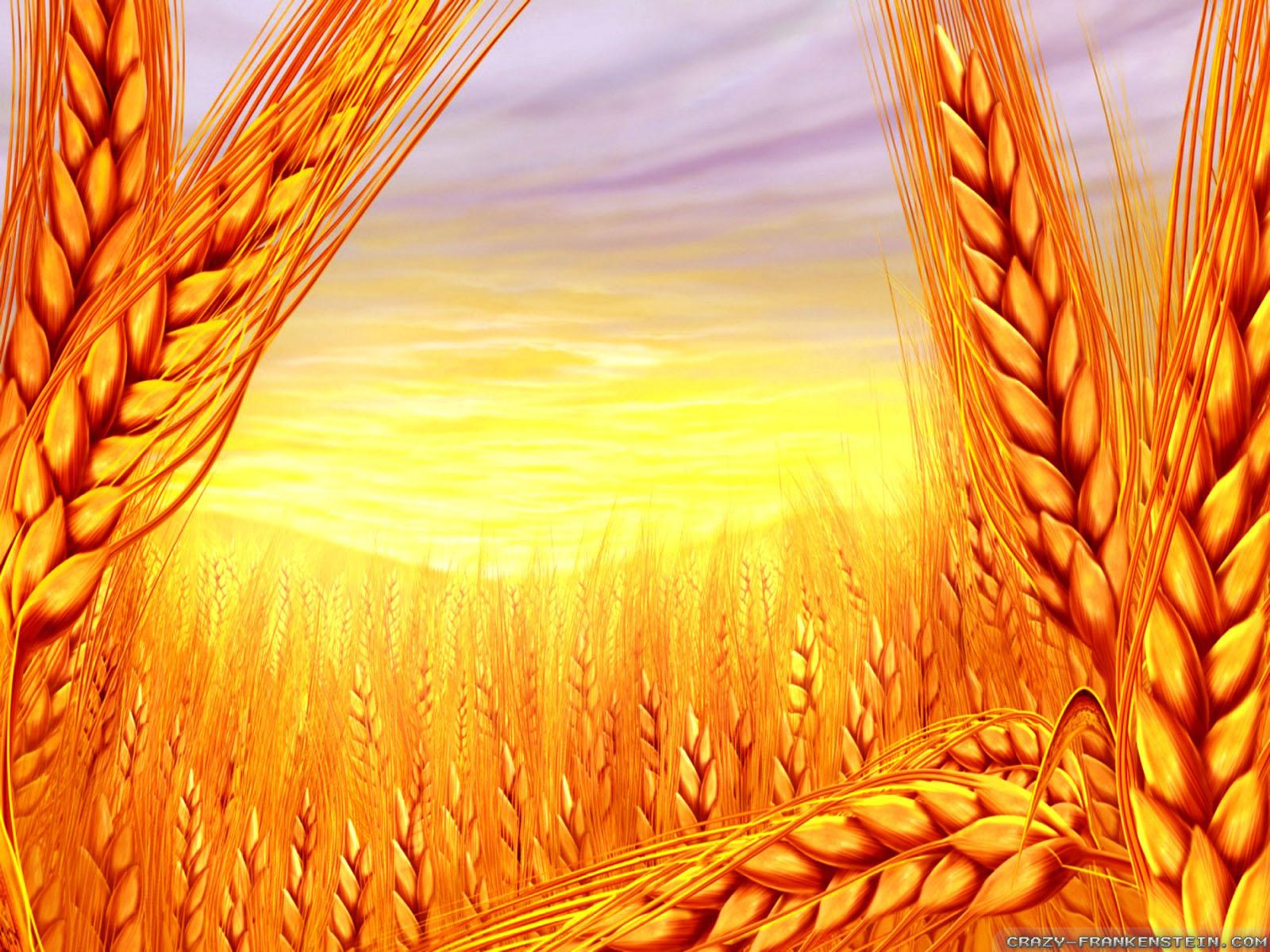 Открытка с колосьями пшеницы, открытки поздравления
